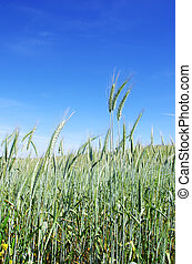 Green spikes of wheat