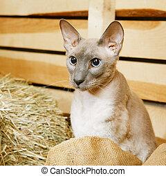Peterbald on Hayloft - cute shorthair oriental cat,...