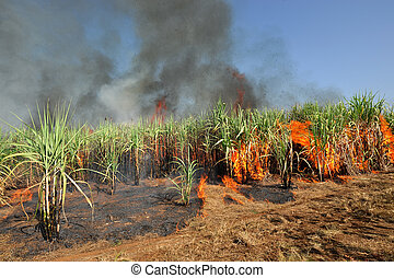 Sugarcane on Fire in thailand