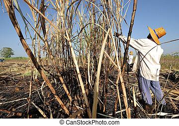 worker harvest sugar cane, thailand
