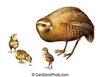 Grey Partridge, Perdix perdix, little chicks, Isolated on white