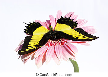 butterfly - Harlequin butterfly on a flower
