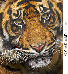 Endangered Sumatran Tiger - This young Sumatran Tiger was...