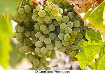grapes - Gold grapes in the vineyard.