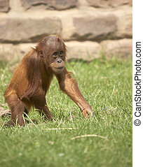 Baby Orangutan - This baby Orangutan was photographed at a...
