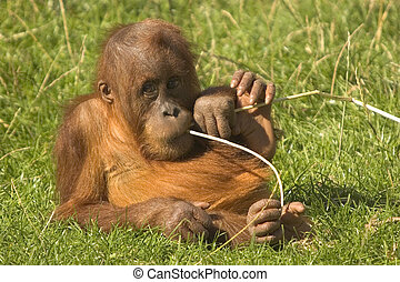 Baby Orangutan - This image of a baby Orangutan was captured...