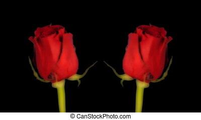 a rose filmed over 5 days