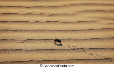 Scarab is running on the sand surfa - 1920x1080 hidef, hdv -...