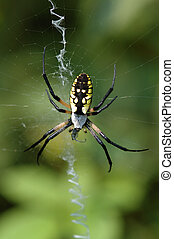 Golden Garden Spider - Macro of golden black and yello...