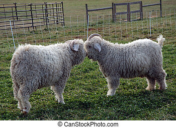 Sheep Love - Two sheep with antlers, standing eye to eye in...