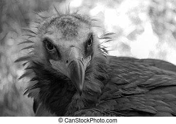Vulture Noir - A black and white close up of a vulture