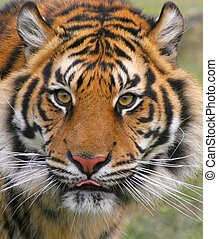 Indy - An intriguing affectionate Tiger who gives much joy...