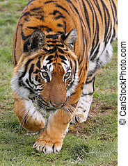 Stalking Tiger - Tigers run extremely fast over short...