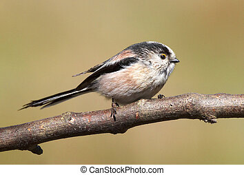 English Long-tailed Tit - This fantastic little bird was...