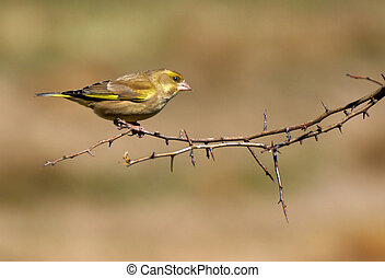 Greenfinch - An English Greenfinch perched on a hawthorn...