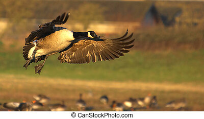 Poetry In Motion - A Canadian Goose glides into its roosting...