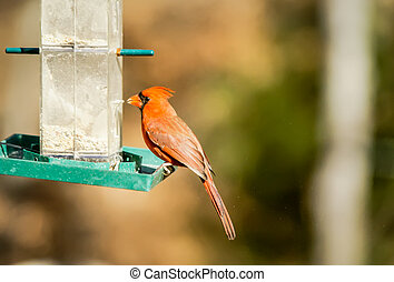 Cardinal Bird at Bird-Feeder - north carolina bird