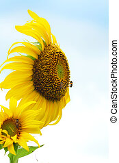 girassol, abelha, natureza