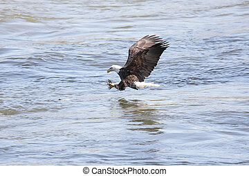 Bald Eagle Fishing - Shot 1 in a series of an adult Bald...