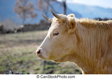 krowa, głowa