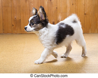 Papillon puppy walking - Small Papillon puppy walking on...