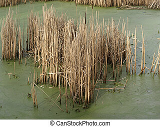 Reeds in stagnant water