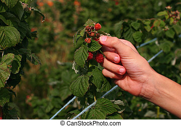 Picking raspberries - a close up of a person picking...