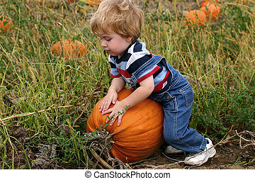 Picking a Pumpkin - Toddler boy picking a very large pumpkin