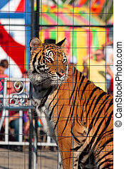 Caged tiger in a show - A close up of a tiger in a cage at a...