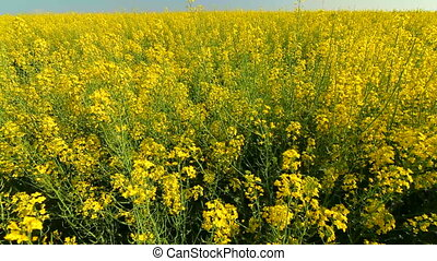 Yellow field and blue sky in summer - Yellow rape field and...
