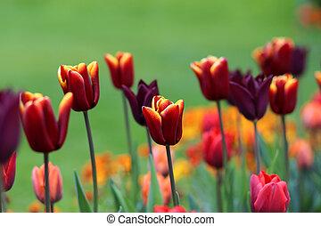 colorido, tulipán, flores
