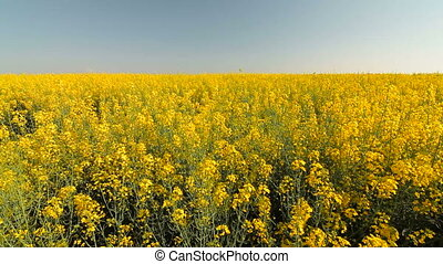 Yellow rape field and blue sky in summer, wide-angle lens