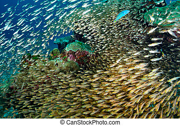 Shoal of Glassfish Golden Sweepers in clear blue water