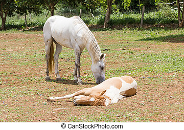 horse sleeping on the ground  in fram