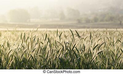 Barley corns growing in a field