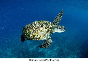 Green turtle at sea surface, Similan, Thailand
