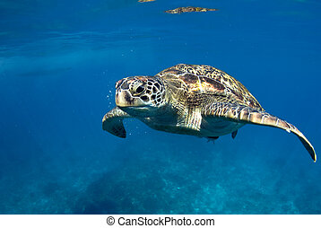 Green turtle at sea surface, Similan, Thailand