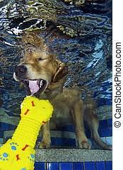 The dog diving and bite the bone in the pool, underwater...