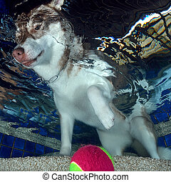 Siberian Husky Swimming in the Pool, underwater view