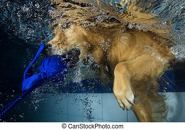 The dog diving and bite the ball in the pool, underwater...