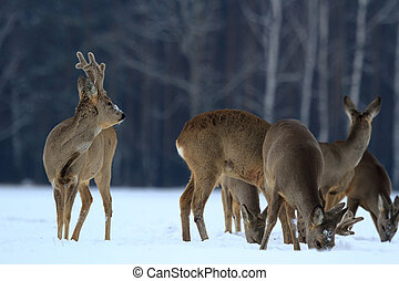 roe - Roe deer over the forest background in sunny day