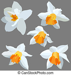 Narcissus isolated - Vector illustration set