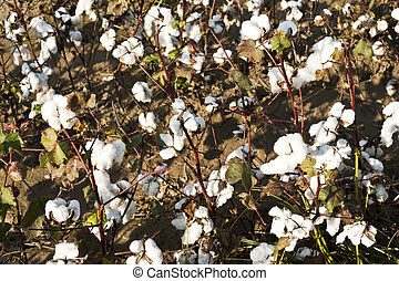 cotton farm - white ripe cotton field ready for harvest