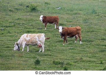 Herd of cows grazing in meadow