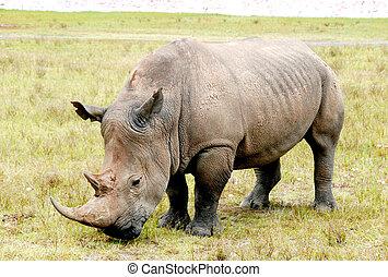 Rhino at lake nakuru, kenya, africa