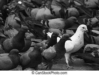 Independent - One white pigeon with alot of grey pigeons