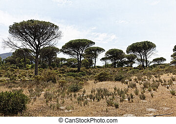 Pine forest, Pinus pinea, France - Pine forest Pinus pinea...