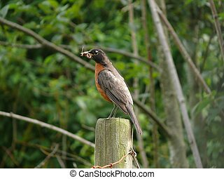 The Provider - An American Robin pauses on the way back to...
