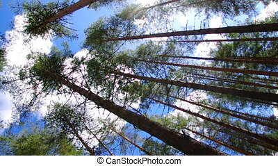 pine forest under cloudy blue sky - pine forest under cloudy...