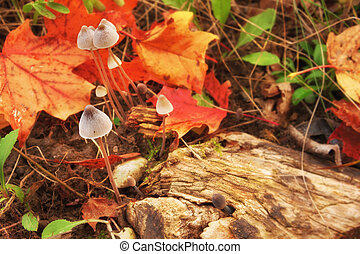 magic mushrooms - closeup of magic mushrooms on a fall...